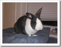 shimi-shayna-bunny-rabbits (1)