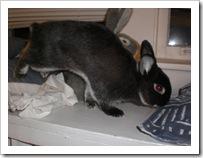 shimi-shayna-bunny-rabbits (3)