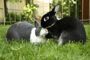 Bunny rabbits kissing